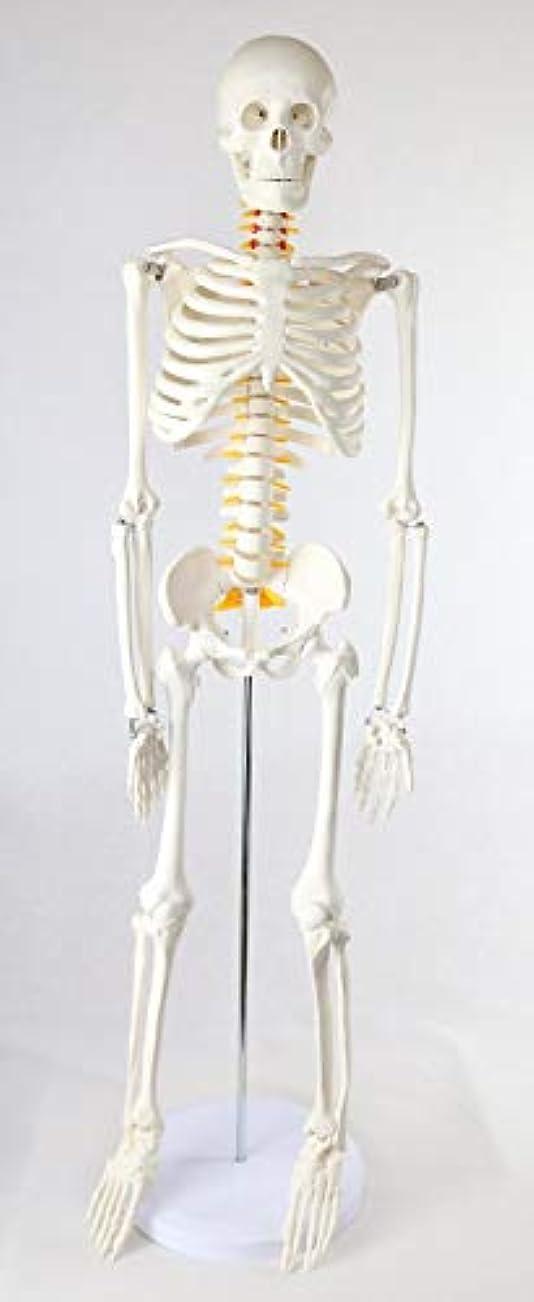 壊すドラフト噴出する人体骨格模型 全身1/2 神経根 椎間盤