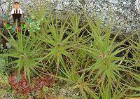 ミックスカラー50個/バッグ永遠のデイジー虹菊、家庭菜園のための花の種:1