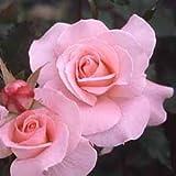 バラ苗 ブライダルピンク 国産新苗4号ポリ鉢 フロリバンダ(FL) 四季咲き中輪 ピンク系