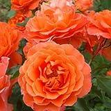 バラ苗 ビブレバカンス! 国産大苗6号スリット鉢 フロリバンダ(FL) 四季咲き中輪 オレンジ系