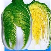 勲黄80[白菜]【タネ】1dl