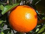 柑橘類 苗木 いよかん 苗 2年生 接ぎ木 苗 果樹苗木 果樹苗 カンキツ