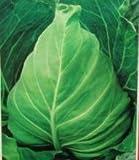 100pcs卸売100%本物のキャベツの種子野菜の種珍しい植物、盆栽有機種子