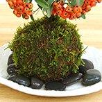 秋から冬に真っ赤な実、春に白い花が楽しめる【ピラカンサの苔玉・楕円白粉引器セット】 (敷石の色(黒))