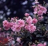 バラ苗 スパニッシュビューティ 国産大苗6号鉢 つるバラ一季咲き ピンク系