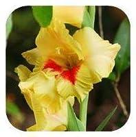 100個/バッグ、グラジオラス、グラジオラスの花の種、グラジオラスの種美しい庭の植物