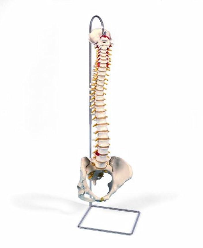 ハンバーガーシール貴重な脊柱可動型モデル,女性骨盤仕様