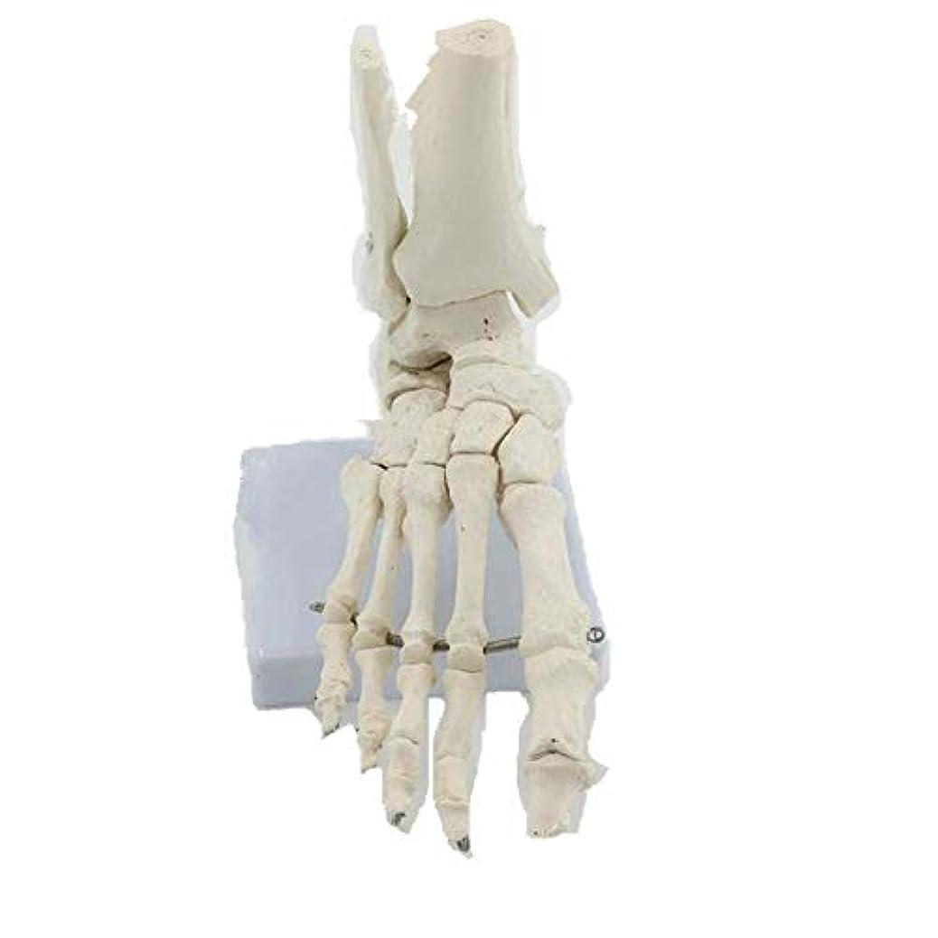 篭オプション里親教育モデル解剖モデル足首関節モデル台座上の人間の足モデル関節式
