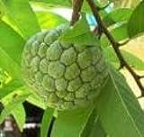 30 Seeds Tropical Asian Thai Custard Apple Fruit Tree by Baimai