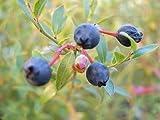 ワイルドブルーベリー ビルベリー 2年生苗 ブルーベリー苗 blueberry