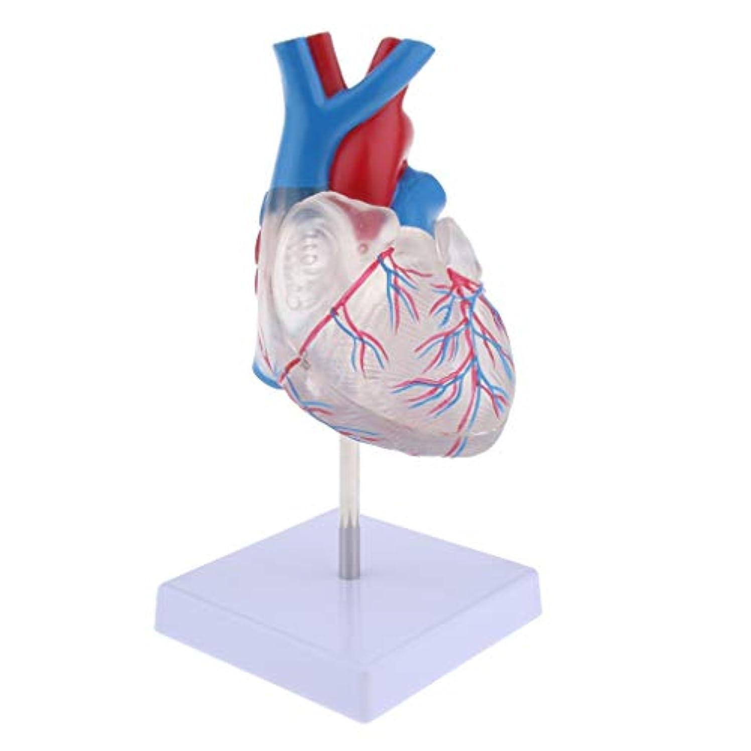 シーズン丁寧前任者人間の心臓解剖学的モデル 1:1ライフサイズ 人体模型 生き生き