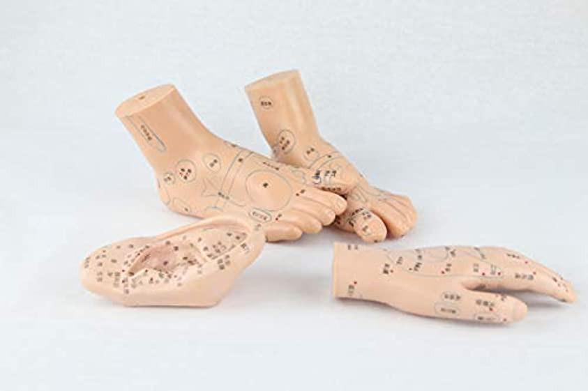 未来シミュレートする本当に人体模型 手?足経穴?耳反射区模型4点セット