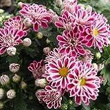 【耐寒性】【多年草】 キク セザンヌ (スプレー菊) 2株セット 【花壇】