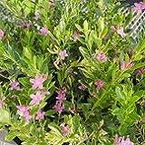 【常緑低木】 斑入り葉 サザンクロス ピンクスター   【四季咲き】【寄せ植え】
