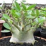 Adenium アデニウム・アラビクム矮性品種 種子5粒 Caudex 塊根植物 [並行輸入品] Arabicum cv. Dwarf PMK