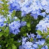 【常緑低木】  ルリマツリ プルンバゴ ブルー 2株セット