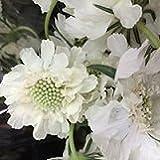 【耐寒性】【多年草】 スカビオサ パーフェクタ アルバ 2株セット 【イングリッシュガーデン】