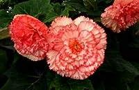 発芽SEEDS:100PCS盆栽カーネーションの植物ファミリーバルコニーフォーシーズンズ鉢植えPerennia