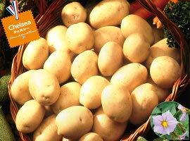 【種ジャガイモ・種いも】フレンチポテト「チェルシー」の種じゃがいも 約500g入【春ジャガイモ用12月下旬?2月中旬発送】