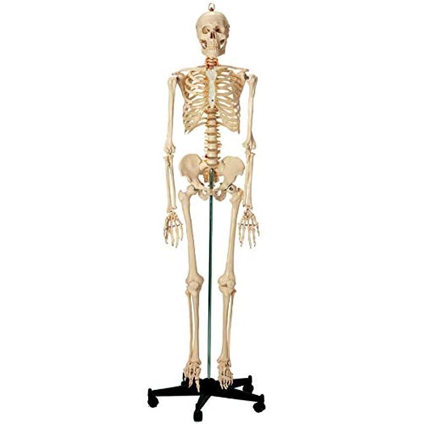 インスタンス中性運動する等身大 人体模型 (全身骨格模型) 等身大 [ 骨格模型 骨格標本 骨模型 骸骨模型 人骨模型 骨格モデル 人体モデル ヒューマンスカル 人体 骨格 骸骨 ガイコツ 模型 可動 靭帯 全身模型 教材 実験 整体院 鍼灸院 ]