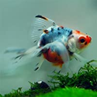 金魚 キャリコ琉金M (約6cm) 1匹 [金魚]
