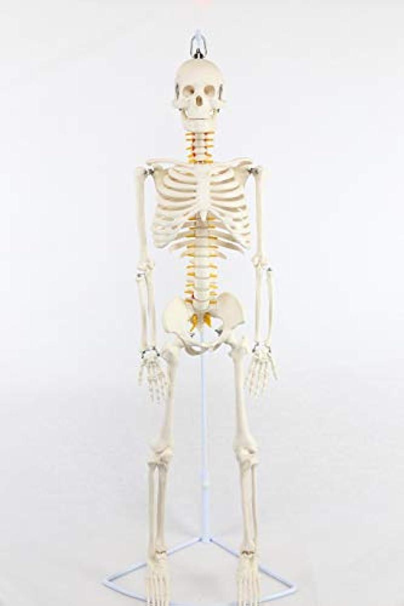 デマンド代表して打ち負かす人体骨格模型 全身1/2 脊柱可動型 神経根 椎骨動脈