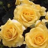 バラ苗 ゴールドバニー 国産新苗4号ポリ鉢 フロリバンダ(FL) 四季咲き中輪 黄色系