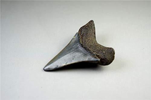 限定商品 サメ 歯 化石 36mm サメの歯 フロリダ