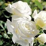 バラ苗 ヨハネパウロ2世 国産大苗6号スリット鉢 ハイブリッドティー(HT) 四季咲き大輪 白系