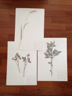 植物標本台紙・ラベルセット(10枚入)/1セット 050150