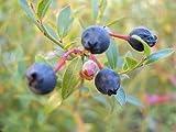 ■掘り出しもの■ワイルドブルーベリー ビルベリー 根巻き大苗 ブルーベリー苗 blueberry