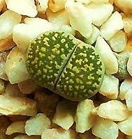 Lithops Salicola汚いフォームエキゾチックなリビングストーンズ氷多肉種子100粒