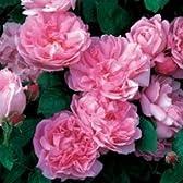 バラ大苗 イングリッシュローズ  メアリー・ローズ 大苗7号鉢(輸入苗) 四季咲き大輪 ピンク系 【09年2月中旬~順次発送となります。】