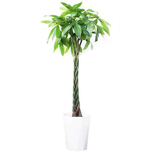 【室内インテリアに最適】大型観葉植物のおすすめ人気商品10選のサムネイル画像