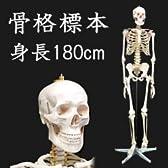 人体模型 骨格標本 ヒューマンスカル 【全身骨格模型 XC-101】