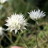【山野草】白花白馬アサツキ