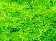 南米ウィローモス (1カップ)◆繊細な三角葉を展開★ 国産無農薬
