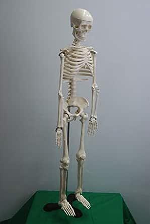 書き消し出来る人体骨格模型 (1/2モデル 85cm)