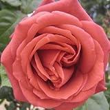 バラ苗 テラコッタ 国産大苗6号スリット鉢 つるバラ(CL) 四季咲き 茶色系