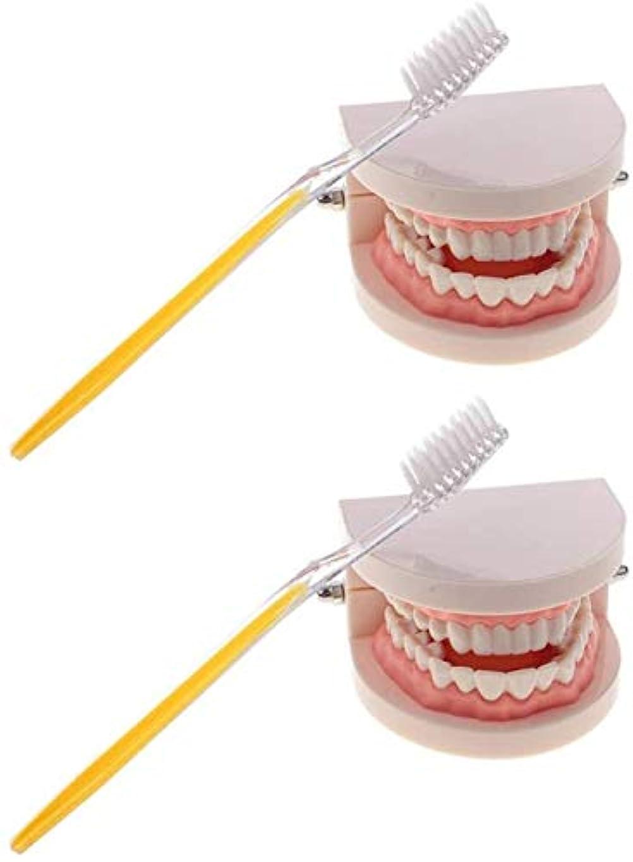 強調する薄めるゴミ箱を空にするLF- 玩具2セットの1:1のライフサイズ人間の口の歯のモデル歯ブラシ学校教育ツールと研究室備品のおもちゃ 学ぶ