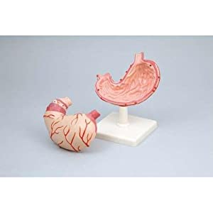 アーテック 胃の構造模型 008897