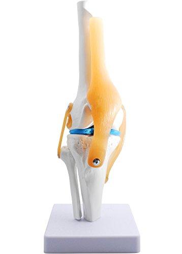 monolife 膝関節模型 ひざ 膝関節 靭帯 半月板 模型 医療 学習用 モデル (台座 固定)