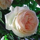 【2013年12月中旬発送】バラ苗 ピエールドゥロンサール 国産大苗6号スリット鉢 つるバラ(CL) 返り咲き 複色系