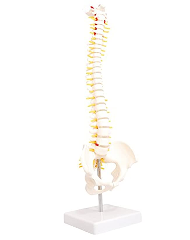 ジーンズ花火好意monolife 人体模型 脊椎骨盤模型 脊柱 脊髄 背骨 腰椎 模型 股関節 1/2 モデル (股関節 なし)