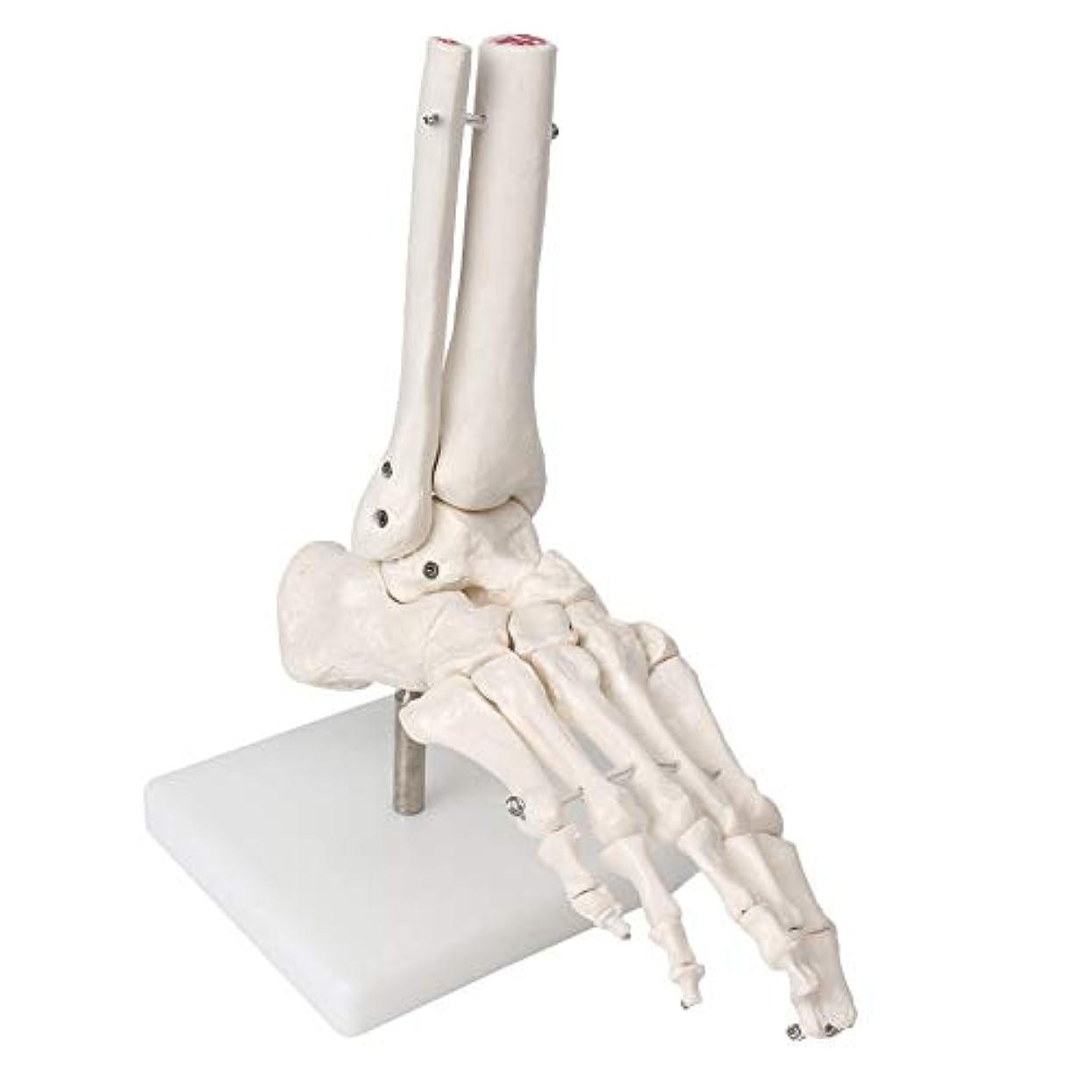 修復目覚める会議Beautyladys 医用 足骨モデル 足関節模型 足骨格模型 人体模型 学習用 展示用 教育研究用 1個
