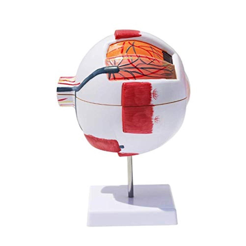 略すハグモバイル教育モデル人間の眼球モデル解剖学の目6X拡大モデル取り外し可能7医療解剖学学習スタディ用の部品教育支援