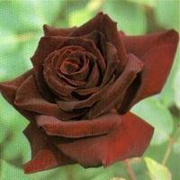 黒い薔薇の3つの重い花言葉|黒い薔薇の品種6つ・贈るときの注意点