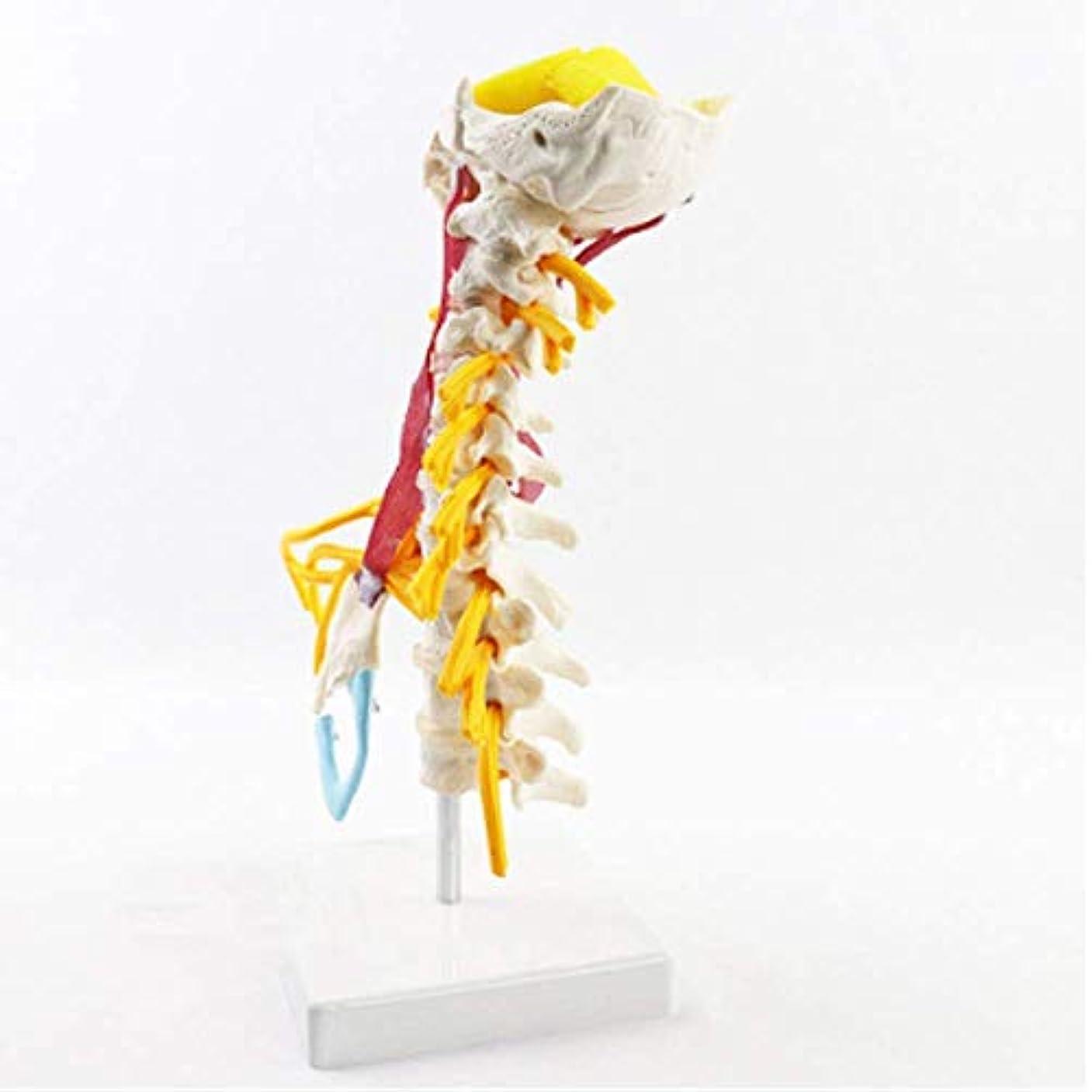 非アクティブ下にオートメーション医療人間の頸椎モデル上腕神経叢筋モデル解剖学的身体神経医学教育用補助具のための整形外科スケルトンモデル人体教育モデル