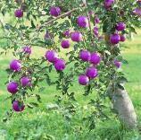 成長すると20枚盆栽フォーシーズンズ鉢植えアップルツリー盆栽バルコニー野菜果物植物盆栽DIYホームガーデン、簡単に:10