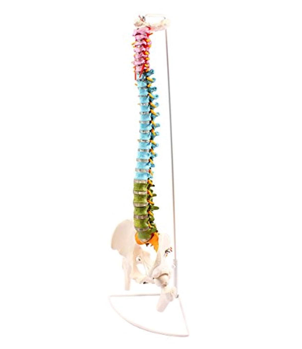 パステル鋼深遠脊椎骨盤模型 実物大 90cm スタンド付き 色分けされています - 1.4530